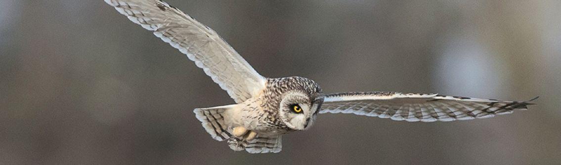 Short Eared Owl, Chesworth Farm by David Oldham