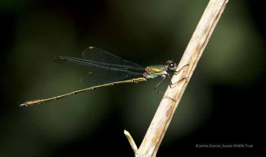 Willow Emerald Damselfly on a twig