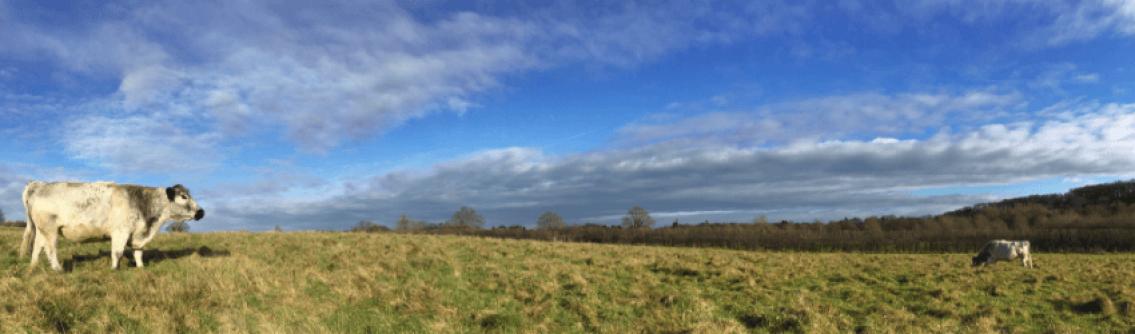 Cows in Chesworth Farm meadow