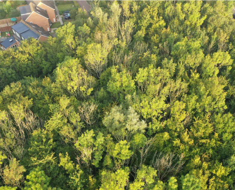 An aerial view of ash trees on Horsham District Council land. The ones affected by ash dieback are clearly identifiable by their leafless branches