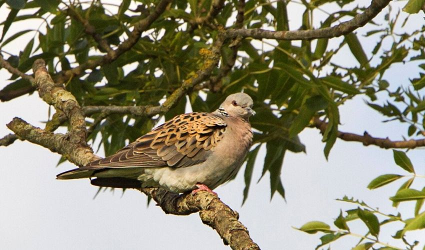 Turtle dove at Woods Mill copyright Ken Turner